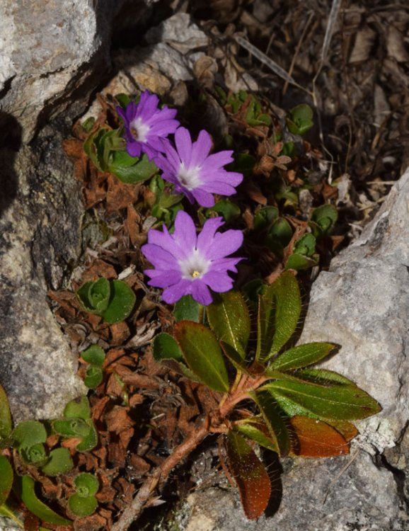 Primula tyrolensis Schott. (9).jpg