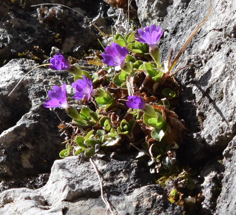 Primula tyrolensis Schott. 2.jpg