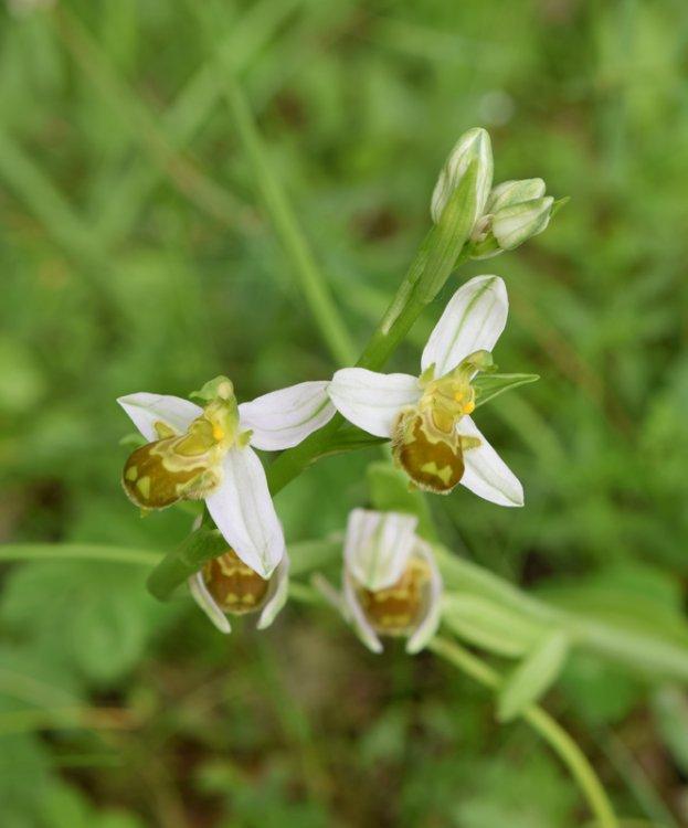 Ophrys apifera Huds. (1).jpg