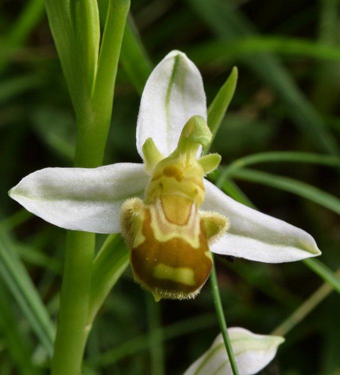 Ophrys apifera Huds. (6).jpg