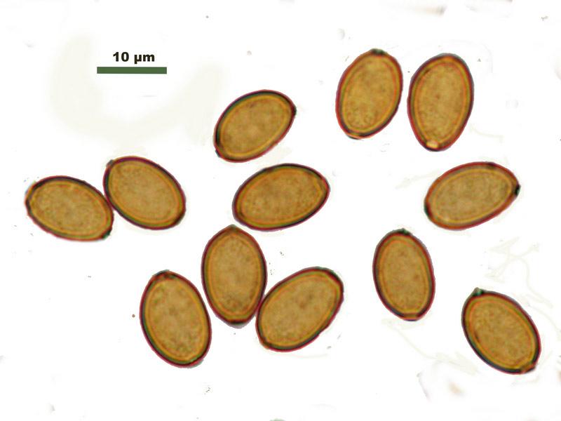 Agrocybe-semiorbicularisa.jpg