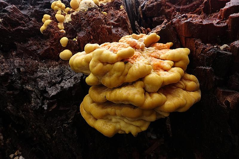Laetiporus-sulphureus-(6).jpg.f35c886d666e893d22645031fceae8d2.jpg