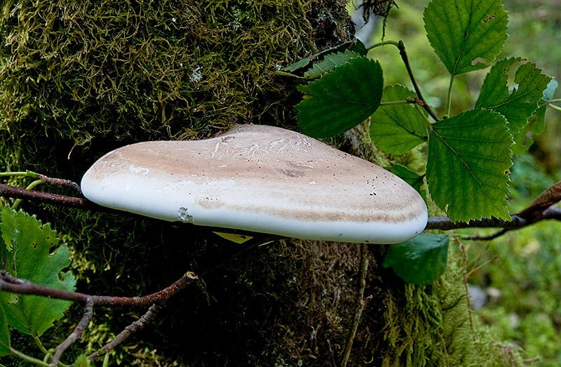 Piptoporus-betulinus-7192_94_2017.jpg