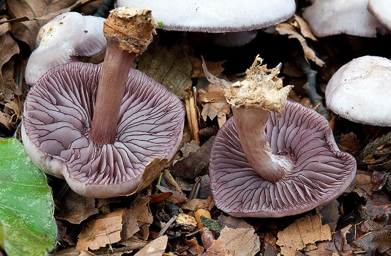 Mycena-pelianthyna-7846_50_2017.jpg