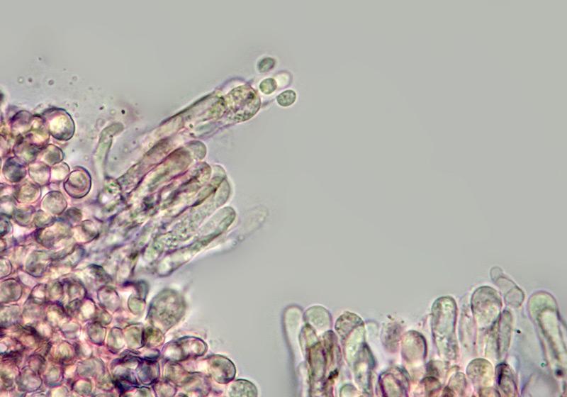 Faerberia-carbonaria-40-Basidi-400x.jpg