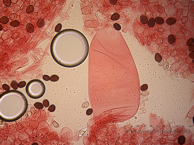 Coprinopsis-nivea-pleuro-20_400x.jpg.ba011f6ba2a9c81d7143c906b2cd24dc.jpg