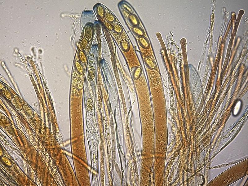 P-vesiculosa-parafisi-18_400x.jpg.4ac2e3de53cfd90057a8ea5e7c6e8738.jpg