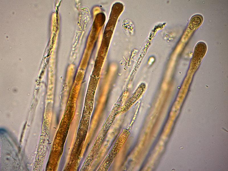 P-vesiculosa-parafisi-43_1000x.jpg.e5f7d7c944a2435f959b67eb6be05495.jpg