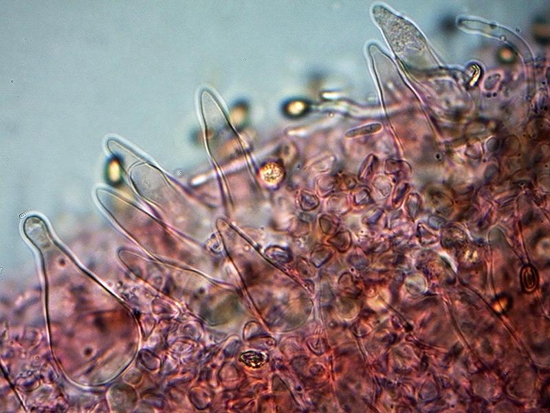 P.-higlandensis-pleuro-54_1000.jpg.cebeb40f96a081109fe1b0f6a6b1aaee.jpg