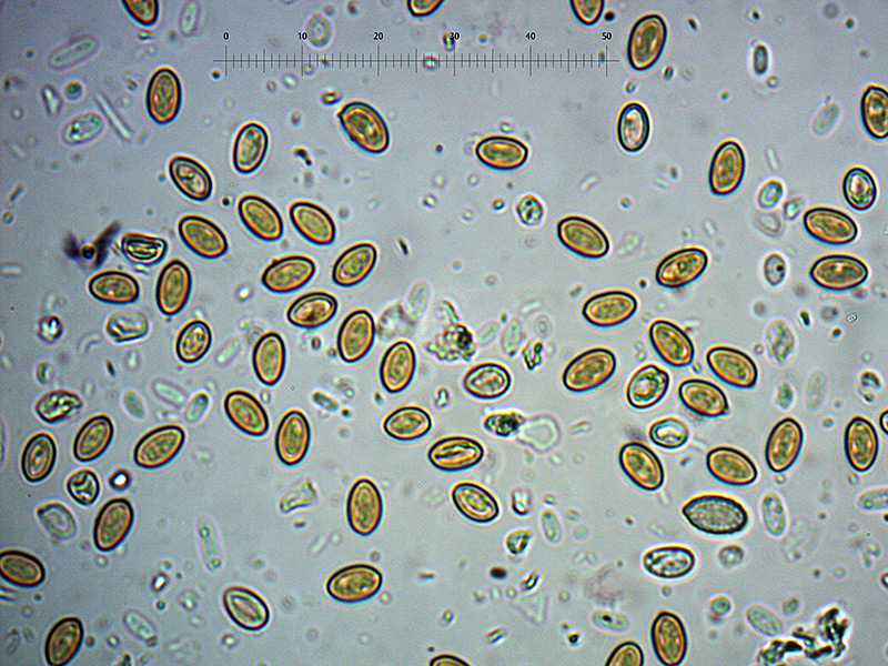 P.-higlandensis-spore-26_1000.jpg.121044d803542b90ddd9bdcd1a276b27.jpg