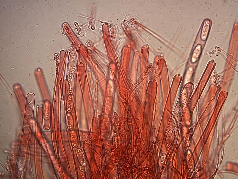 Sarcoscypha-coccinea-aschi-7_400x.jpg.a641653a1b5c4bbbbc9059f4e13e92f0.jpg