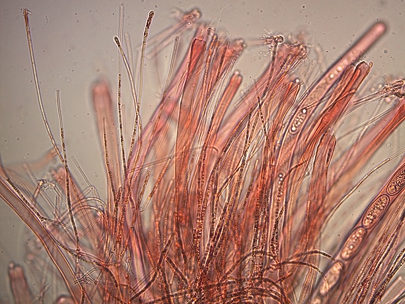 Sarcoscypha-coccinea-aschi-e-parafisi-9_400x.jpg.4f8bcec8ffa17dc5d101b69f7f8783d5.jpg