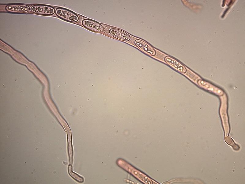Sarcoscypha-coccinea-base-aschi-17_400x.jpg.e4f3a0931f9ce685299006e4647c924f.jpg