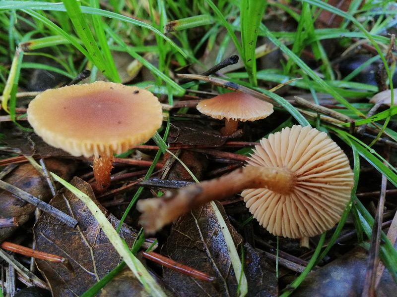 Tubaria-furfuracea-clade-01-2.jpg