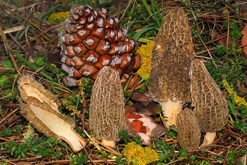 Morchella-conica-02b.jpg