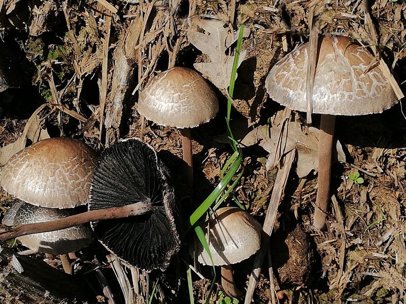 Panaeolus-papilionaceus-07.jpg