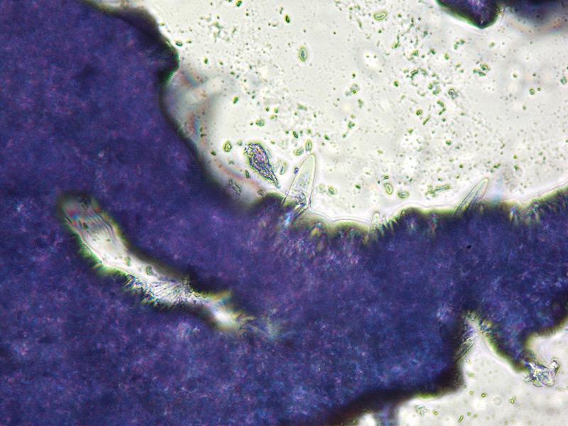 Strobilurus-tenacellus-07-Cheilo-400x-BluTol.jpg
