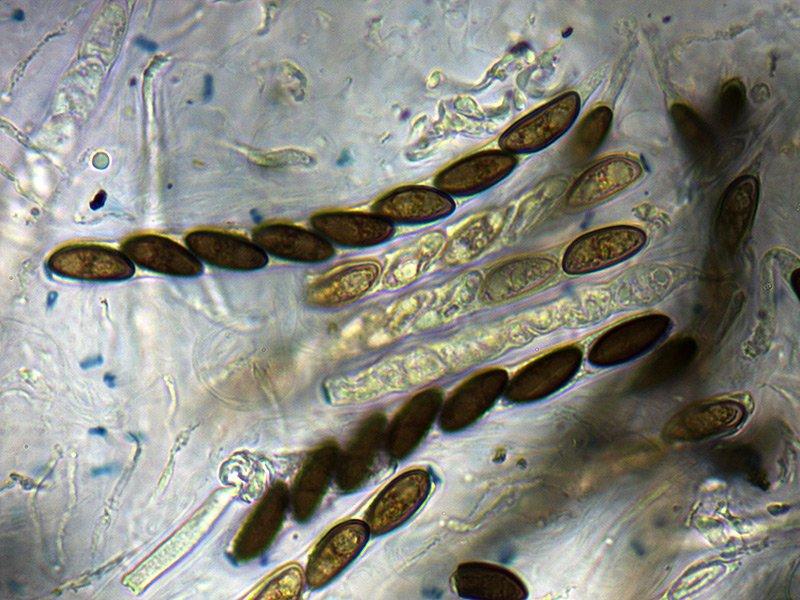 Hypoxylon-fuscim-asch-16_1000xi.jpg.8ea55119d014e3e52f3efa92225a55c9.jpg