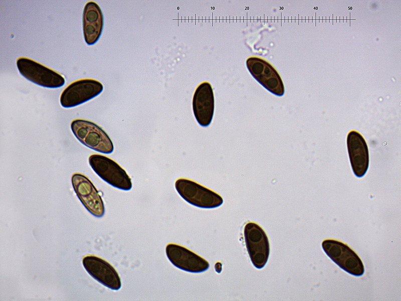 Hypoxylon-fuscim-spore-51_1000x.jpg.2d0505ce85e90e0902d98655b94ece87.jpg