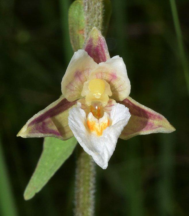 Epipactis palustris (L.) Crantz 1769. 7.jpg