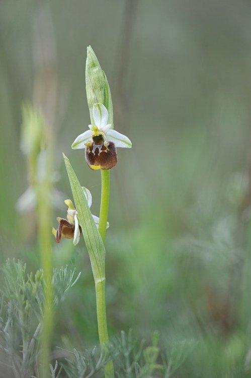 Ophrys_holosericea.jpg