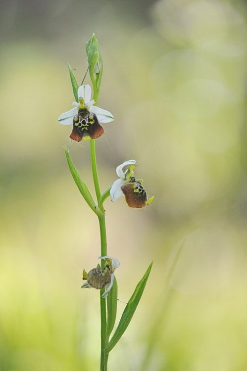 Ophrys_holosericea1.jpg