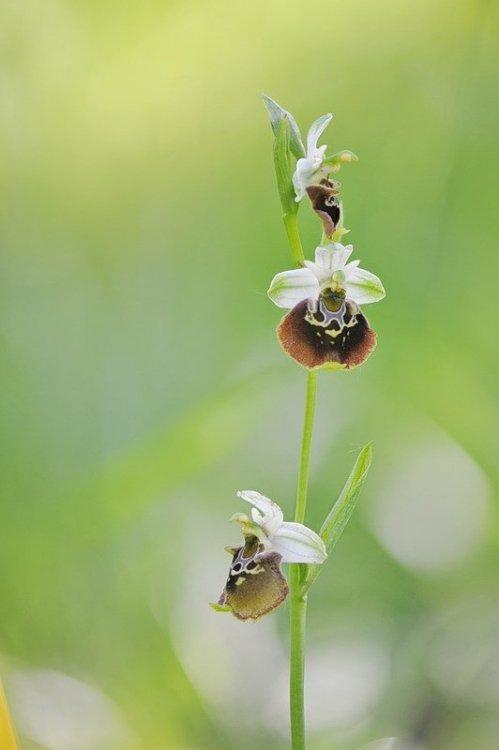 Ophrys_holosericea2.jpg
