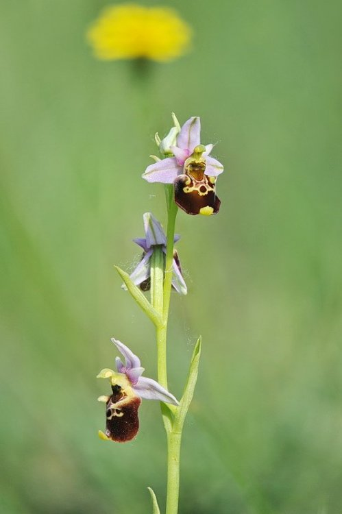 Ophrys_holosericea3.jpg