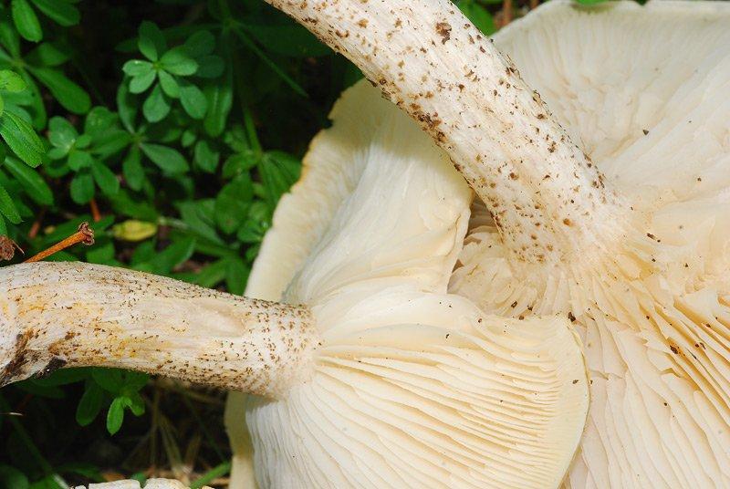 Melanoleuca-verrucipes-09.jpg