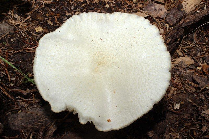 Melanoleuca-verrucipes-34.jpg