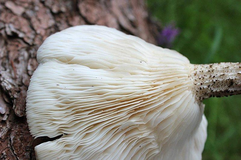 Melanoleuca-verrucipes-45.jpg
