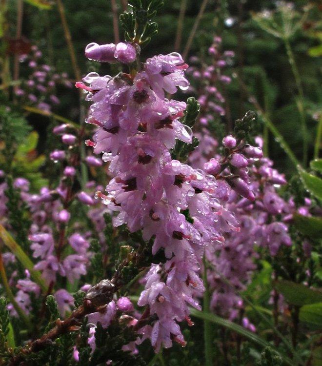 Calluna vulgaris (L.) Hull 1808. 5.jpg