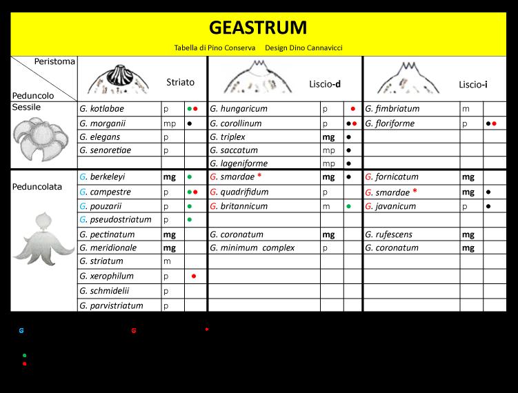 20180828_Geastrum-morfo-introd_TL.png