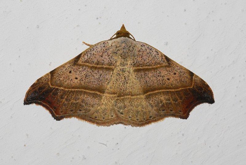 Lasperyria flexula 03.jpg