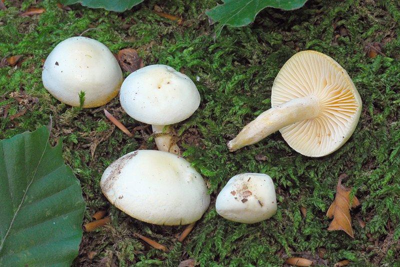 Clitopilus prunulus 01.jpg