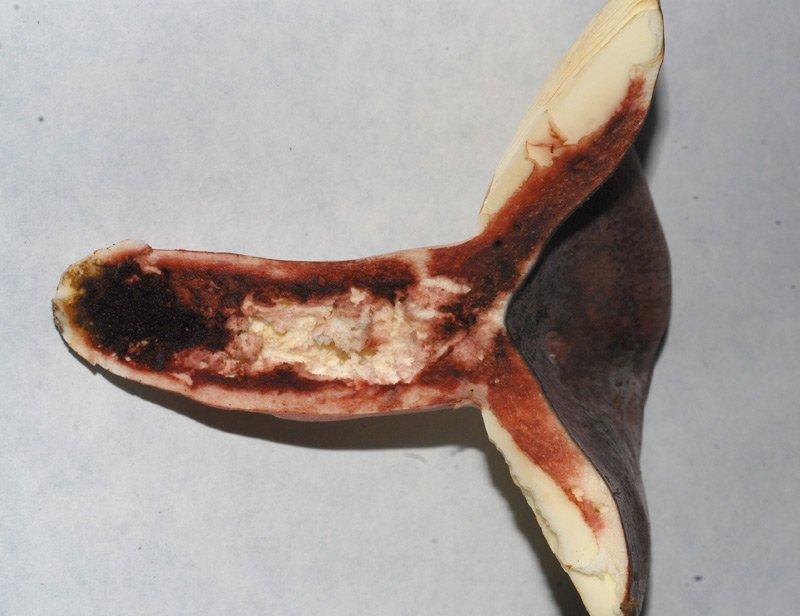 Russula amoena 18 Fenolo.jpg
