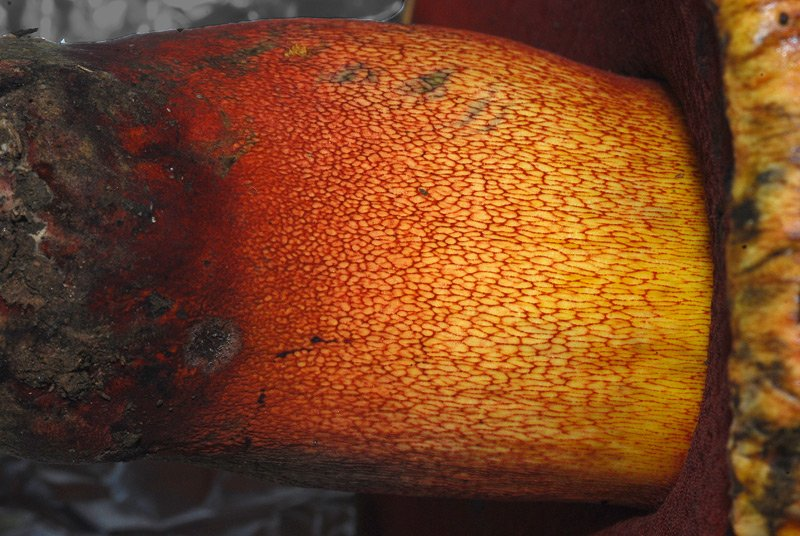 Boletus luteocupreus 14.jpg