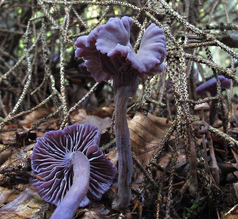 Laccaria amethystina (Huds.) Cooke. 1.jpg
