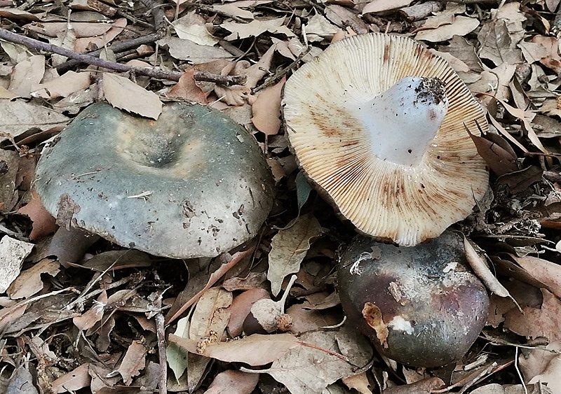 Russula ochrospora 01-2.jpg