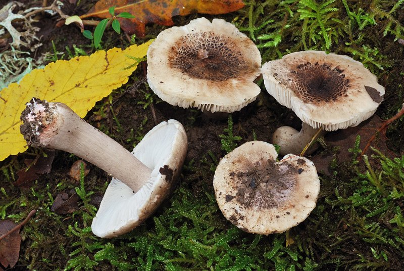 Ticholoma basirubens 02.jpg