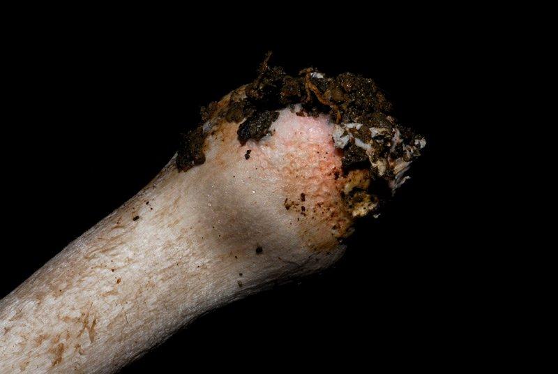 Ticholoma basirubens 03.jpg