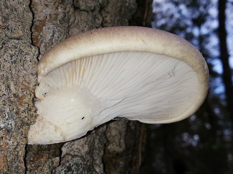 Pleurotus dryinus 06.jpg