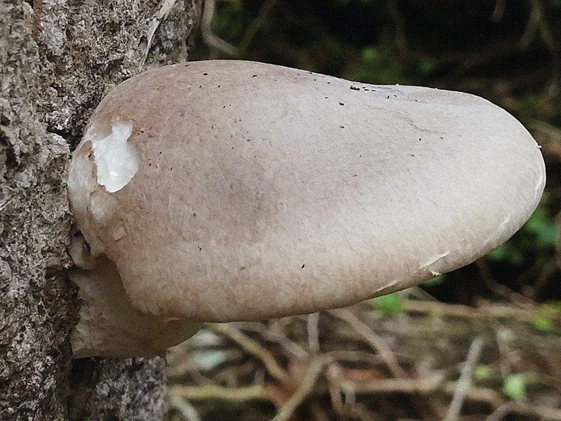 Pleurotus dryinus 12.jpg