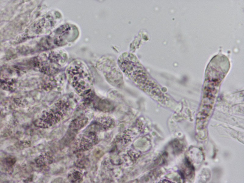L-maleolens-basidi-siderofili-2_1000.jpg