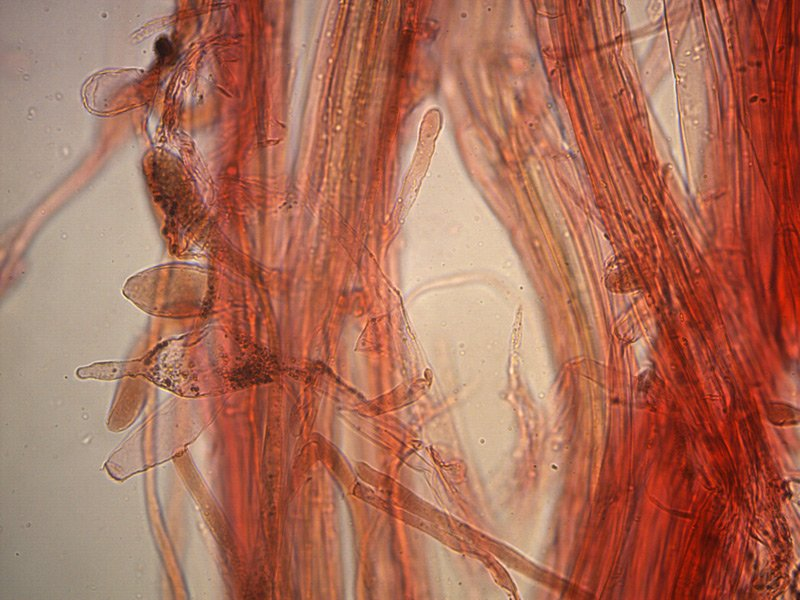 Leucoagaricus-badhamii-caulo-04_4000x.jpg