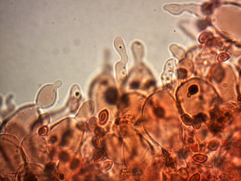 Leucoagaricus-badhamii-cheilo-30_1000x.jpg