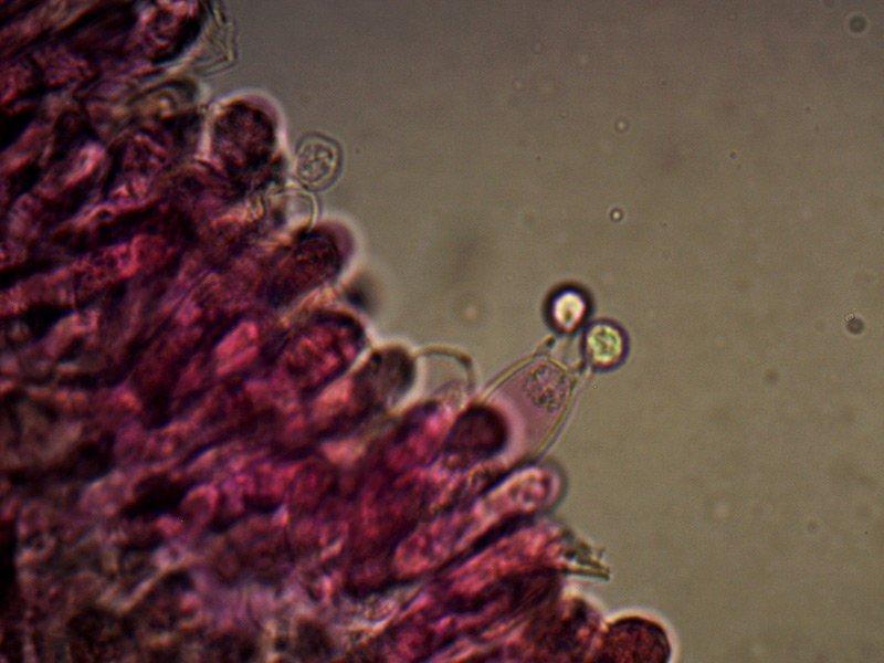 Lyophyllum-caerulescens-basidi-13_1000.jpg