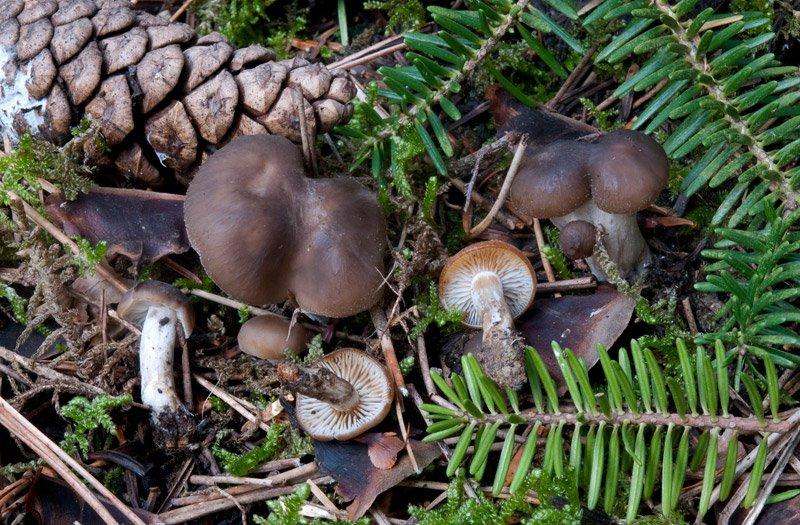 Lyophyllum-maleolens-866_68_2016.jpg