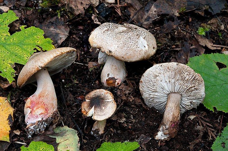 Tricholoma-basirubens-9581_84_2018.jpg