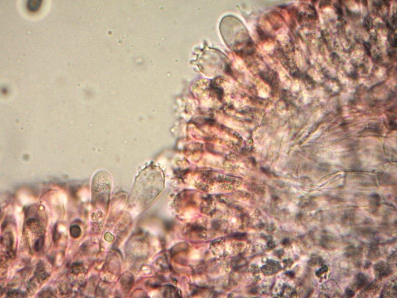 Mycena-crocata-cheilo-7_1000.jpg